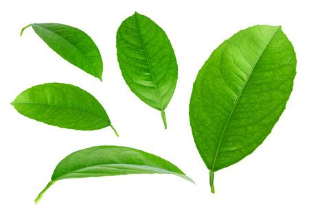 レモンの葉が白い背景で隔離 写真素材