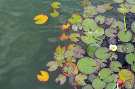 lily pads on the water Stock Photo
