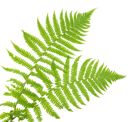 fern: ferns isolated on white, cutout