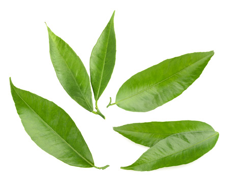 tangerine leaves isolated