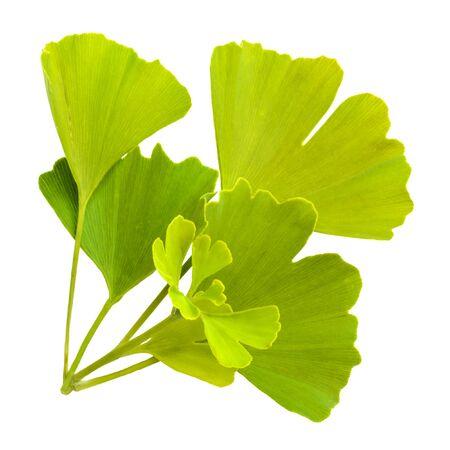 ginkgo biloba leaves isolated on white background Reklamní fotografie