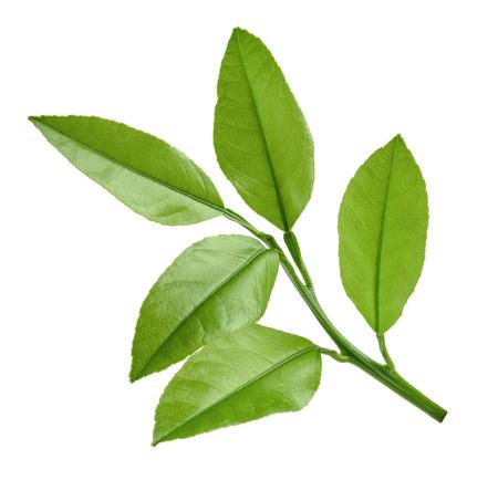 lemon twig isolated on white