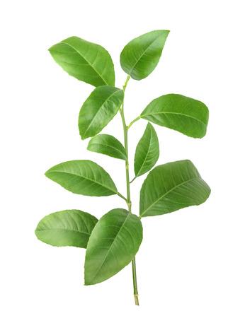 Citroen groene bladeren geïsoleerd op een witte achtergrond Stockfoto - 39788364