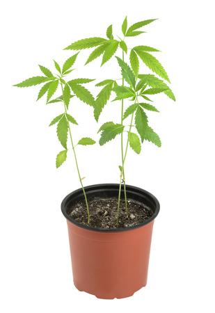 marihuana: El cannabis, marihuana, plantas sobre un fondo blanco