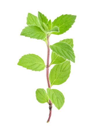 melissa: mint melissa leaves isolated
