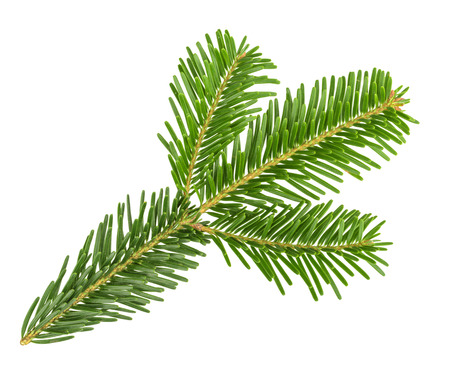 isolated  on white: Fir tree branch isolated on white
