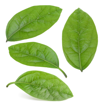 branches and leaves: avocado leaves isolated