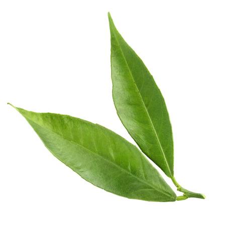tangerine leaf isolated