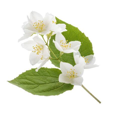 jasmine flower: Jasmine flower isolated on white