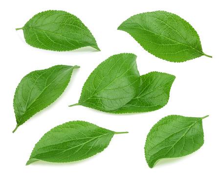 feuille arbre: prune feuilles isolé Banque d'images