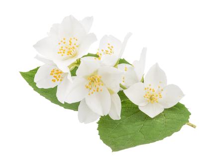 Jasmine fleurs isolé sur blanc Banque d'images - 47674438