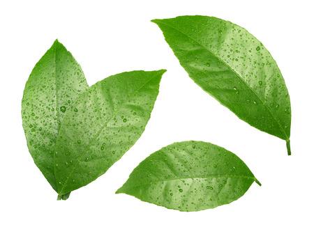 레몬 화이트에 격리 방울과 잎