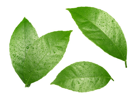 Lemon leaves with drops isolated on white Banque d'images