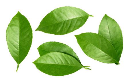 레몬 잎은 흰색 배경에 고립