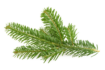 pine green: Fir tree branch isolated on white