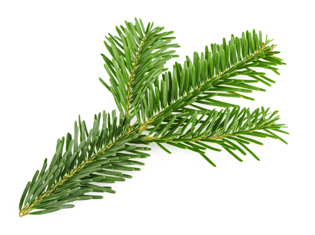 coniferous tree: Fir tree branch isolated on white