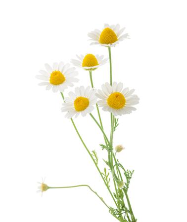 Chamomiles isolated on white background. cutout Stockfoto
