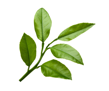 Lemon leaves isolated on white background Banque d'images