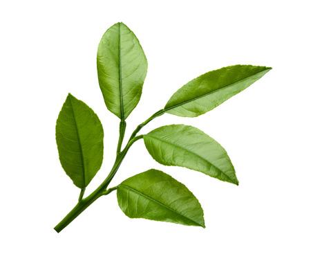 feuille arbre: Feuilles de citron isolé sur fond blanc Banque d'images