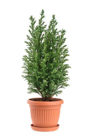 Cypress Baum isoliert auf weiß. whithout Schatten