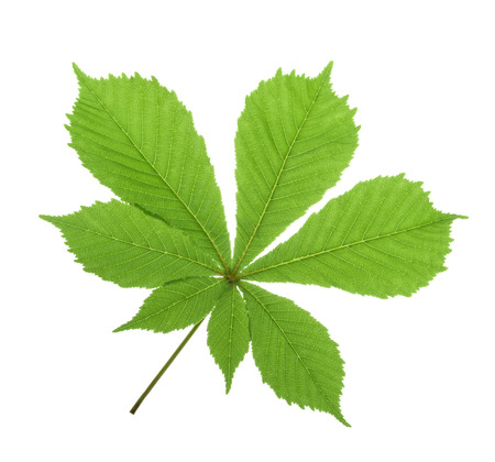 Horse-chestnut (Aesculus hippocastanum, Conker tree) leaf isolated. without shadow