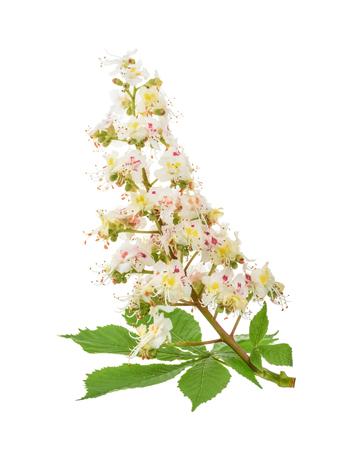 Paardenkastanje (Aesculus hippocastanum, Conkerboom) geïsoleerde bloemen. Zonder schaduw Stockfoto
