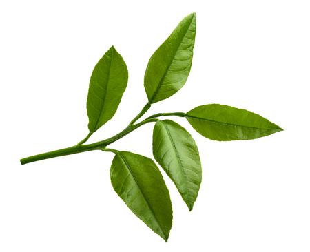naranjo arbol: Cítricos deja aislada sobre fondo blanco Foto de archivo