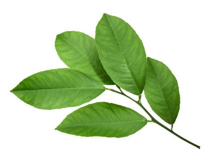 naranjo arbol: Limón hojas aisladas sobre fondo blanco