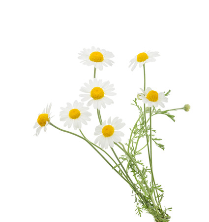 Chamomiles isolated on white background. without shadow 版權商用圖片