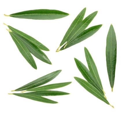 aceite de oliva: Hojas de olivo aislado en blanco, sin sombra Foto de archivo