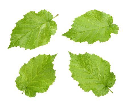 corylus: Hazelnut leaves (Corylus americana) isolated without shadow