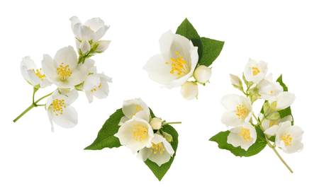 Jasmine flower isolated on white. without shadow Stock Photo
