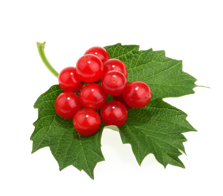guelder: Red berries of Viburnum (arrow wood), isolated on white Stock Photo