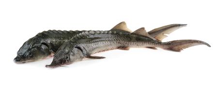sturgeon: Fresh sturgeon fish isolated on white