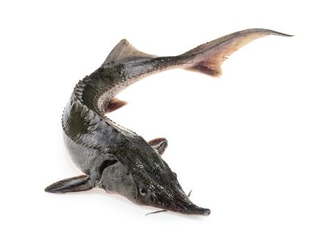 Frischer Störfisch isoliert auf weiss