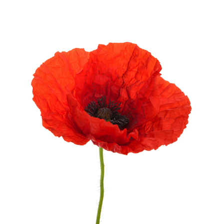 Poppy flower isolated without shadow Standard-Bild