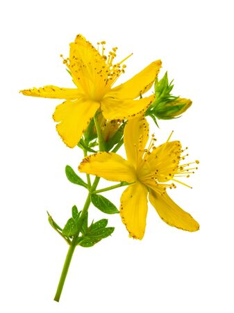 St. Johns wort (Hypericum perforatum) isolated without shadow Фото со стока
