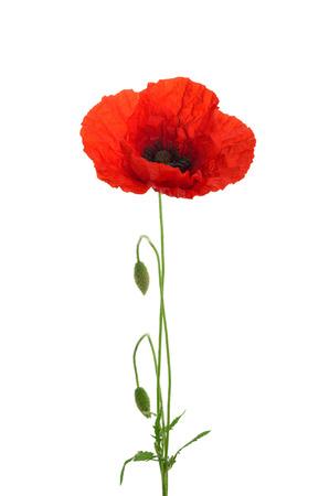 Fleur de coquelicot isolée sans ombre Banque d'images