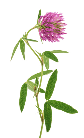 Red clover flower isolated