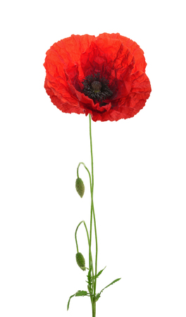 Poppy flower on white background