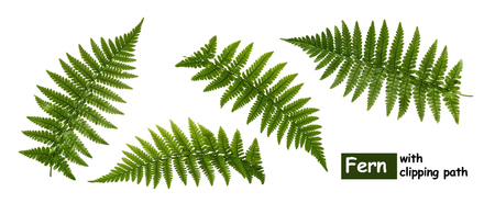 Fern leaves isolated on white with clipping path Reklamní fotografie