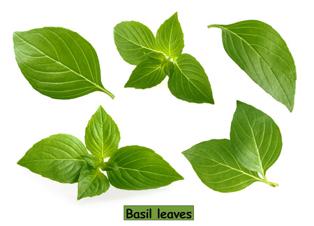 Basil leaves isolated on white background clipping path Reklamní fotografie