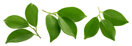 Green leaves isolated clipping path