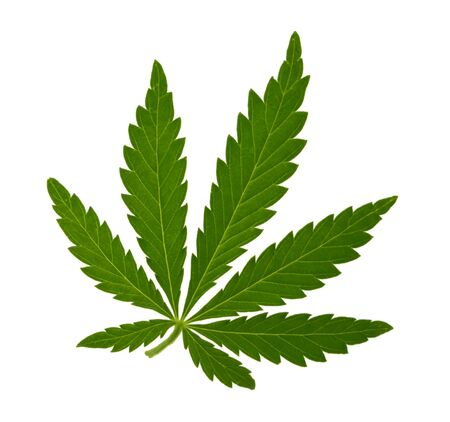 Marijuana leaf isolated on white without shadow 免版税图像