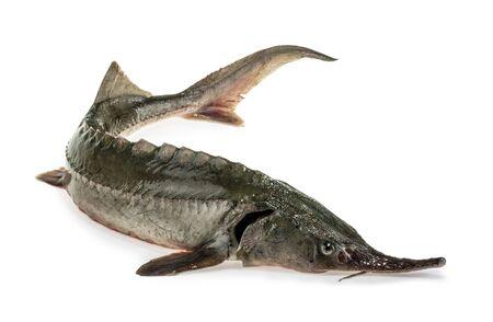 Fresh sturgeon fish isolated on white