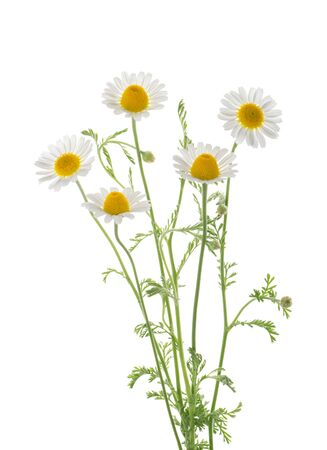 Chamomiles isolated on white background without shadow with clipping path