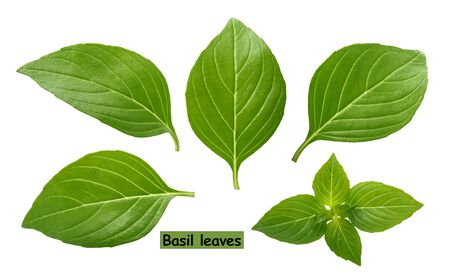 Basil leaves isolated on white background clipping path Stockfoto