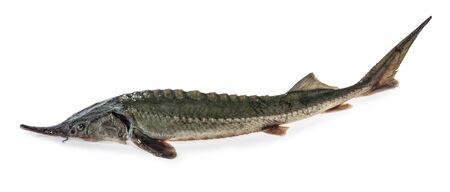 Fresh sturgeon fish isolated clipping path