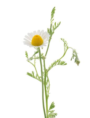 Chamomile isolated on white background without shadow with clipping path
