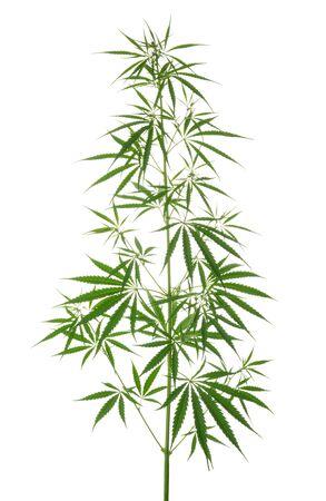 Marijuana leaves isolated on white without shadow Stockfoto